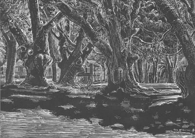 Mango trees, Seaforth